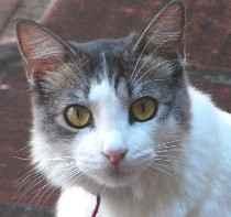 Carita de gato