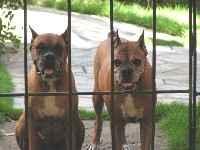 Las dos boxer