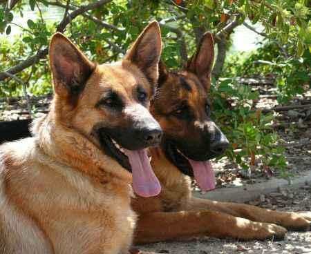 pareja de perros raza pastor aleman
