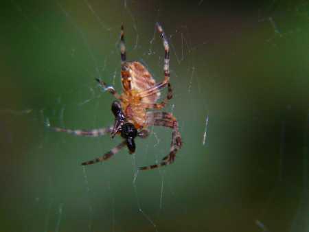 araña y su presa
