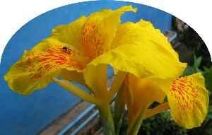 Capacho amarillo con insecto