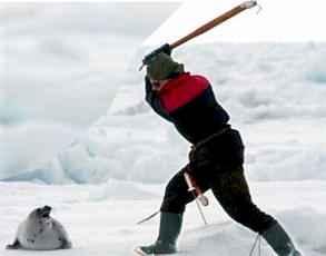 matando una foca