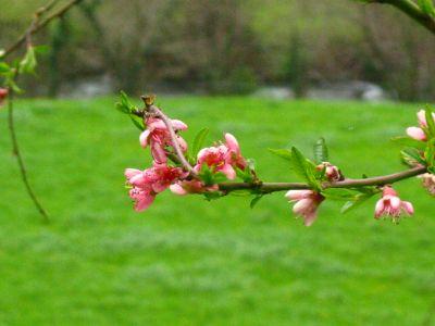 Keyla díaz. Flores de cerezo asturiano
