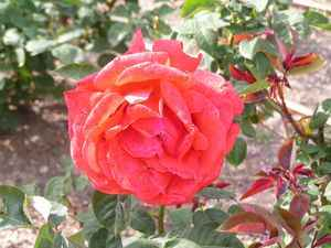 rosaleda 3