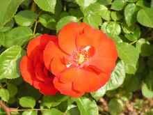 rosaleda 5