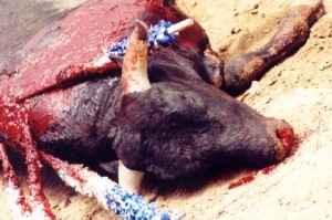toro de lidia muerto